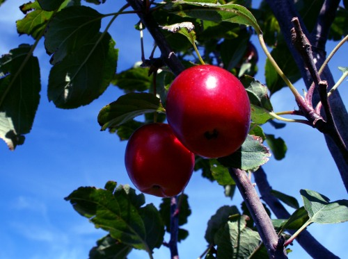 red crabapples